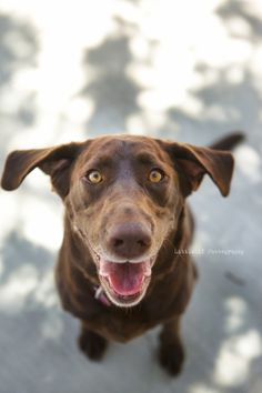 In February of last year, I was called to Labs And Friends boarding facility to take pictures of several dogs. Warm Fuzzies, New Life, Make Me Smile, Labrador Retriever, Guy, Dogs, Photography, Animals, Labrador Retrievers