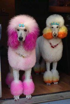 dyed standard poodles