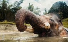 Elefante-asiático se refresca em rio