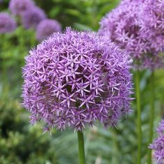 Allium - Big blooms are tall stems that bridge the gap between late spring bulbs and early summer perennials. Summer Bulbs, Big Blooms, Spring Garden, Autumn Garden, Garden, Bulb, Bulb Flowers, Flowers, Longfield Gardens