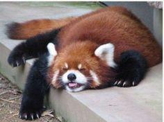 One Sleepy Red Panda