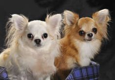 Image Search Results for Long haired chihuahuas