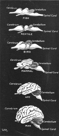 Comparative brain anatomy