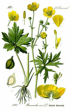 Ranunculus acris (pryskyřník prudký). This and other buttercups contain ranunculin, which breaks down to the toxin protoanemonin, a chemical that can cause dermatitis and vomiting.
