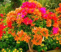 bouganvilla (orange) for pink bouganvilla and plumbago