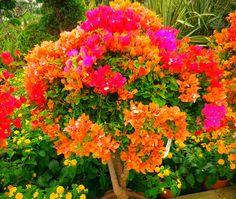 bouganvilla (orange) for pink bouganvilla and plumbago