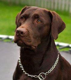 Beautiful!  Chocolate Labrador Retriever