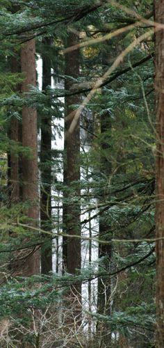 Rodney Falls through the trees.  Beacon Rock State Park, WA.  03/2011.