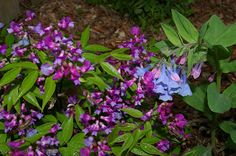 Natureworks... it's all about the plants: Shady Characters  Lathyrus vernus and Mertensia