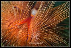 Blue-spotted sea urchin  © Arno Enzerink / www.stockphotography.nu. All rights reserved.