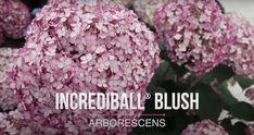 Peonies And Hydrangeas, Plant Species, Cabbage, Herbs, Vegetables, Plants, Food, Peony, Garden