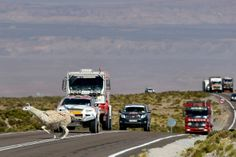 An alpaca crosses the road as drivers wait in their vehicles in the highlands of Chile en route to the Jama border crossing during the seventh stage of the 2013 Dakar Rally from Calama to Salta.