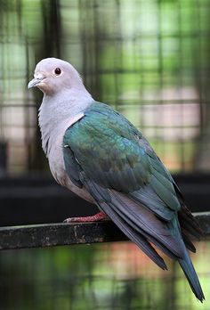 Green Imperial Pigeon, Ducula aenea  -  Tropical Southern Asia from India East to Indonesia