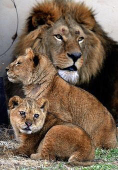 A new life has stared for four lions and two lion cubs, FOUR PAWS transferred from run down zoo in Romania to the big cat sanctuary LIONSROCK. Amazing Animal Pictures, Lion Pictures, Funny Animal Pictures, Mundo Animal, My Animal, Beautiful Cats, Animals Beautiful, Cute Baby Animals, Animals And Pets