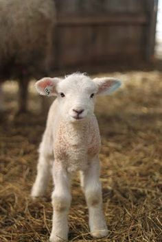 Photo credit: Kristin Nichols/ sweetheart I love sheep! Cute Baby Animals, Farm Animals, Animals And Pets, Alpacas, Animal Pictures, Cute Pictures, Lamb Pictures, Sheep And Lamb, Baby Sheep