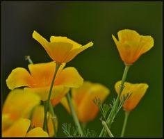 California poppy.. (by elsie.vanderwalt)