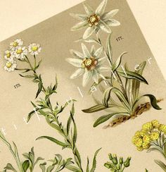 Antique 1892 German Botanical Engraved Chromolithograph, Edelweiss and Wildflowers by PetitPoulailler