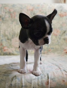 This is the Sweetest Thing on the Planet! A Boston Terrier