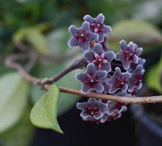 Hoya pubicalyx 'Royal Hawaiian Purple' (also known as Hoya chimera).