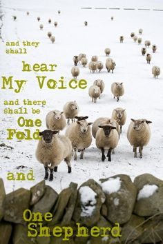John 10:16 And other sheep I have, which are not of this fold:them also I must bring, and they shall hear my voice; and there shall be one fold, and one shepherd.