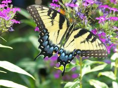 10 Beautiful Butterflies (Photos) at BalconyContainerGardening.com