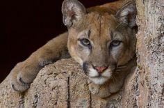 Photograph Cruz - Mountain Lion by Kelly Hawkins-Gibson on 500px Visit http://www.jimclick.com/