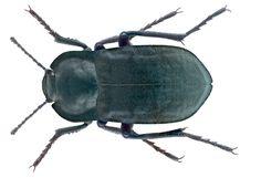 Family: Tenebrionidae Size: 17,2 mm Location: Spain, Mallorca, Puerto de Soller leg. U.Schmidt, 29.V.1988;  det. Schawaller, 2013 Photo: U.Schmidt, 2016