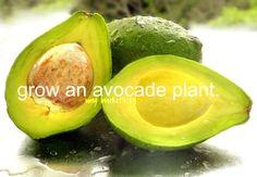 bucketlist: grow an avocado plant.
