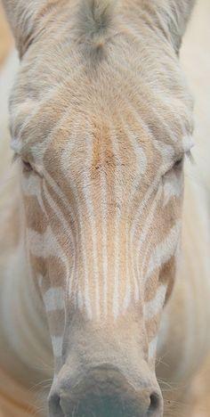 Albino Zebra by Eva