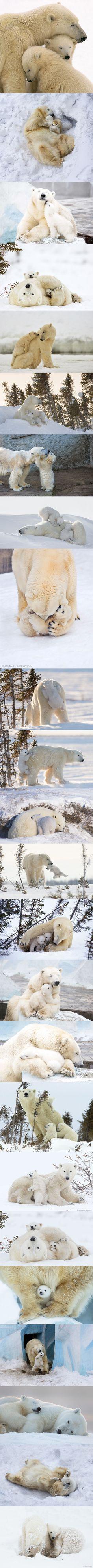Maman ours polaire et ses petits                                                                                                                                                                                 Plus
