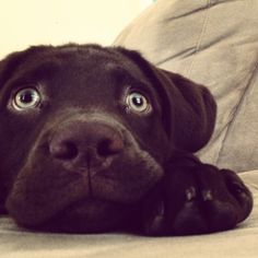 chocolate lab puppy! <3