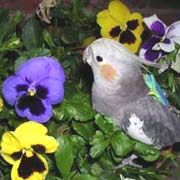 Lists of known safe and known toxic plants for pet birds