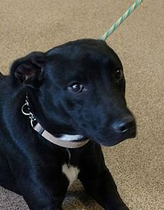 Troy, OH - Labrador Retriever/Pit Bull Terrier Mix. Meet Paisley, a dog for adoption. https://www.adoptapet.com/pet/19655221-troy-ohio-labrador-retriever-mix