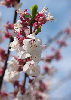 Apricot flowers, Nagano, Japan