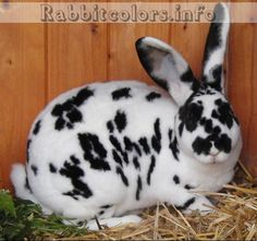 www.rabbitcolors.info is a massive database for different rabbit colors. This rabbit's genetics are aa B? C? D? E?, Enen, rexrex. I love the dalmatian look and hopefully will breed standard rex with this coloration in the future.