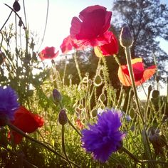 meadow flowers, poppies and cornflowers, poppies, fields of flowers, the last krystallos,