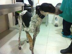 Currita #greyhound #galga  Cuenta SOS Galgos: 2100-0148-53-0200582650 (La Caixa)  IBAN: ES89 2100 0148 5302 0058 2650  Swift: CAIX ES BB; Telex: 97824 CAIX E
