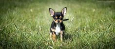 Kisu as a puppy, spring Chihuahua, Husky, Puppies, Spring, Dogs, Cute, Animals, Cubs, Animales