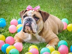 Most Important Information about English Bulldogs - NeoLatino Tv