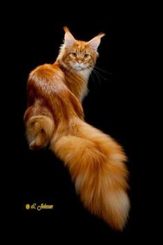 Gorgeous Male Maine Coon. Must be hard dragging that tail around.