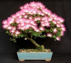 Albizia Julibrissin Mimosa Bonsai Pink Tree 10 seeds Rare