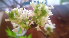 Nå blomstrer syrinkvistene jeg tok inn i stua for et par uker siden! Hvite nydelige blomsterklaser som lyser opp og skaper forventning om vår. En bukett av greiner som blomstrer på bar kvist. Plants, Lily, Plant, Planets