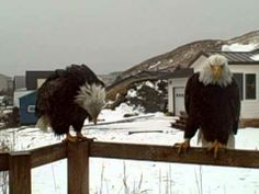 Gizmo Tells Mrs Eagle to Bug Off - Daily Pods http://wp.me/p3dKHc-d91