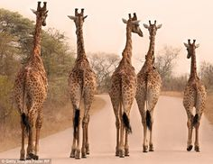 Researchers from the Senckenberg Biodiversity and Climate Research Centre and Goethe University in Germany looked at the DNA of 190 giraffes from across their range in Africa. The genetic data showed that four separate species of giraffes