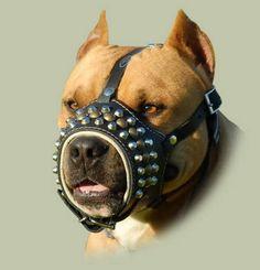 pitbull dog muzzle wallpaper