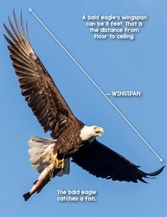 Badass eagle right here Bald Eagle Wingspan, Eagle Facts, True Happiness Quotes, Eagle Craft, Eagle Images, Close Reading Activities, Text Dependent Questions, National Symbols, Facts For Kids
