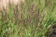 Purple moor grasses (Molinia caerulea)