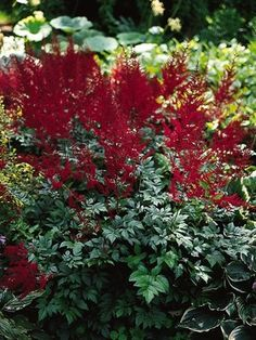 "Astilbe arendsii Glow.  Height:  Medium 30"" (Plant 18-24"" apart) Bloom Time:  Early Summer to Summer  Sun-Shade:  Half Sun/ Half Shade to Full Shade  Zones:   4-8"