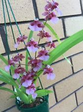 Oncidium. Rosy Sunset Rosebud In Bloom With a Strong Perfume 100mm Pot.