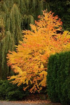 ornamental trees: Katsura tree: zone w, spring color is red / purple, fall color shown, after leaves fall they have a caramel or cotton candy smell. Trees And Shrubs, Flowering Trees, Trees To Plant, Garden Trees, Garden Plants, Bali Garden, Vegetable Garden, Katsura Tree, Baumgarten